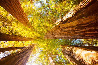 Looking up at a cluster of towering old growth Sequoia trees